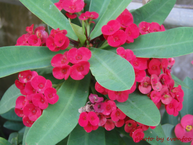 Euphorbia-milii-crown-of-thorns-christ-plant-christ-thorn-4