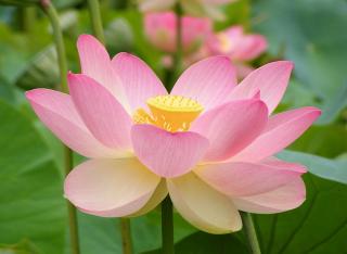 1024px-Nelumno_nucifera_open_flower_-_botanic_garden_adelaide2